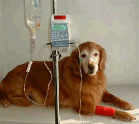 renal failure in dogs fluid therapy the of treament mar vista animal center