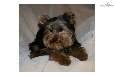 boy names for yorkies yorkie puppy names breeds picture