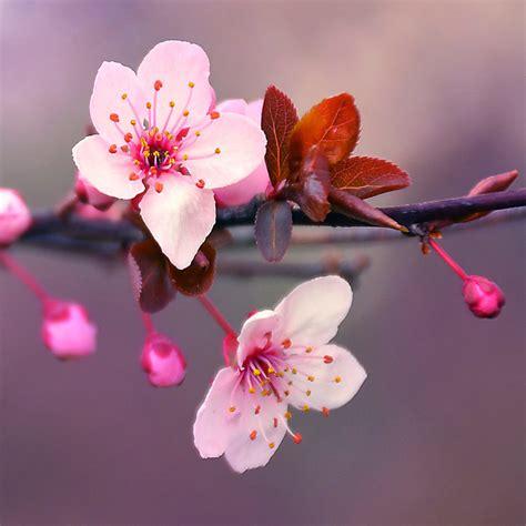 fiori di ciliegio giappone autunno pazzo in giappone ciliegi di nuovo in fiore vvox