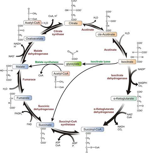 hans adolf krebs pdf il ciclo dell acido citrico ari info ari info