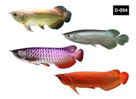 Set Silver Ikan fish arowana several species of arowana