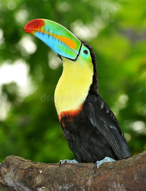 Toucan L arc en ciel toucan photographie stock libre de droits