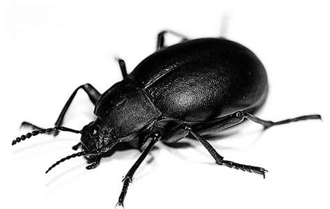 scarafaggio senza testa scarafaggi massimocassani i romanzi
