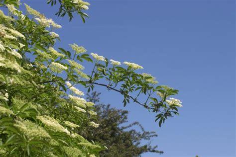 holunder wann reif roter holunder 187 pflanzen pflegen schneiden und mehr