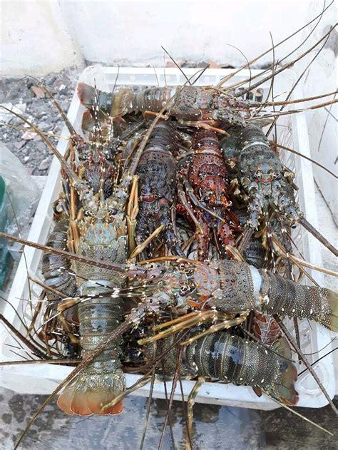 jual udang lobster laut beku frozen  lapak asf seafood
