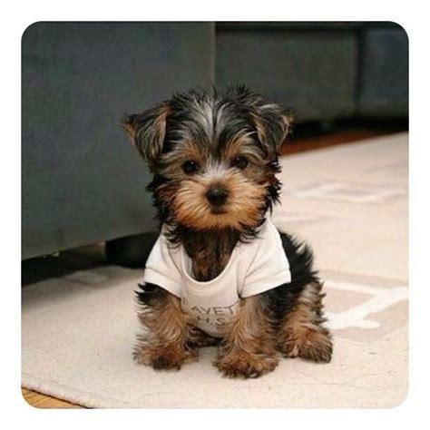 precious yorkie puppies puppy my yorkie precious is name pinter