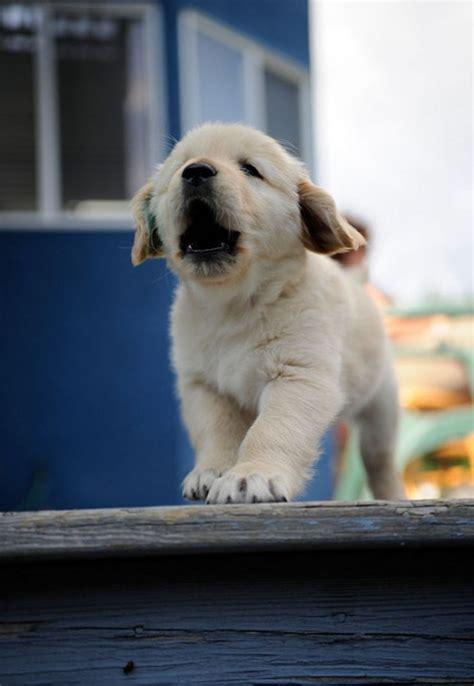 howling golden retriever i am puppy hear me howl