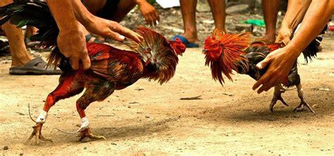 Jual Pisau Ayam Sabung ayam petarung diunggulkan pada sabung ayam pisau