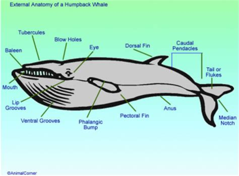 whale diagram whale anatomy physiology diagram image of whale