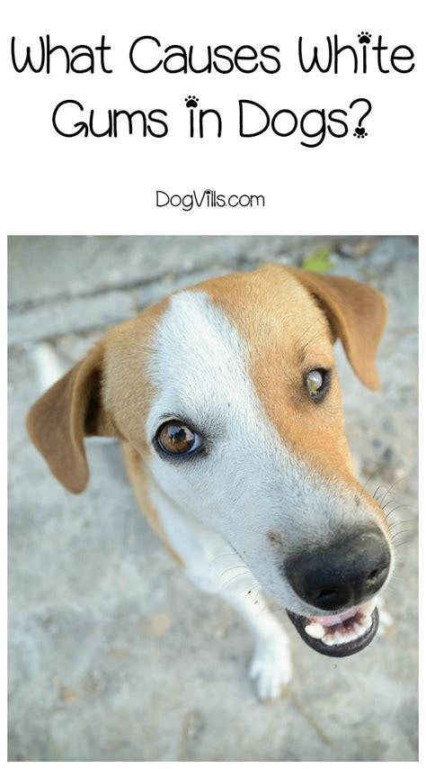 pale gums in dogs best 25 a vet ideas on veterinary technician