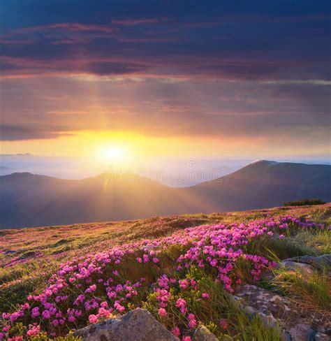 fiori di rododendro albeggi nelle montagne dei fiori di rododendro fotografia