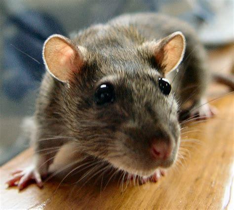 cara membuat cireng rat cara tikus newhairstylesformen2014 com