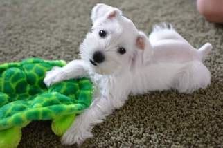 miniature schnauzer puppies for sale in missouri view ad schnauzer miniature puppy for sale missouri springfield usa