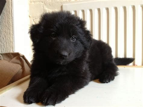 haired black german shepherd puppies for sale haired black german shepherd puppies breeds picture