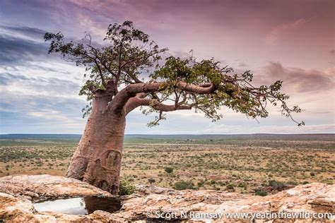 dung beetles give birth  baobab trees africa
