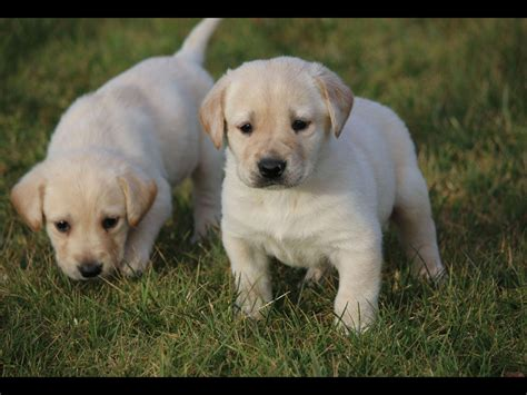 labrador puppies oregon labrador breeders salem oregon photo