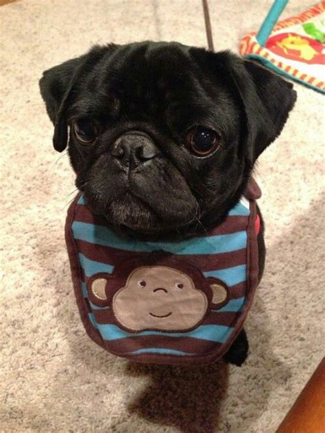 pug monkey pictures the o jays heavens and pets on