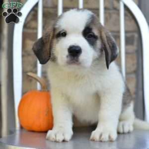 st bernard puppies ohio bernard puppies for sale in de md ny nj philly dc and baltimore
