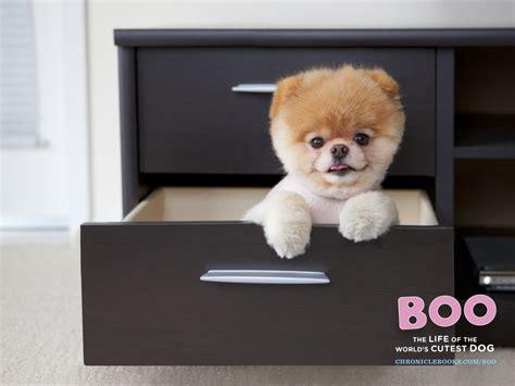 boo the dog christmas boo wallpaper wallpapersafari