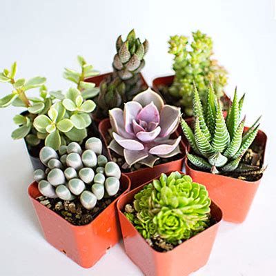 cute succulents top 5 plants pack top 5 cute succulents buy 6000