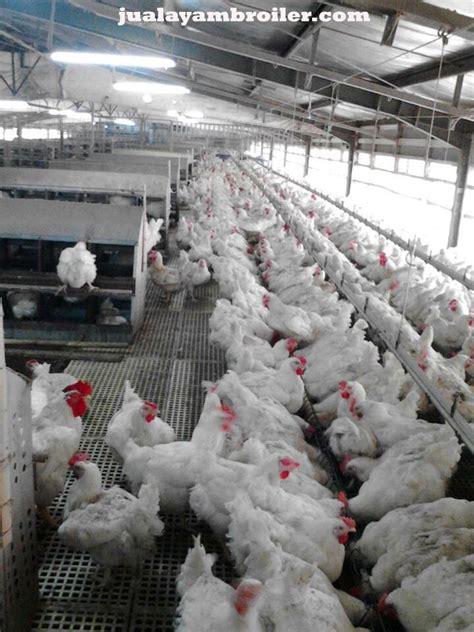 Jual Bibit Ayam Broiler Di Bekasi jual ayam broiler di bekasi jaya jual ayam broiler