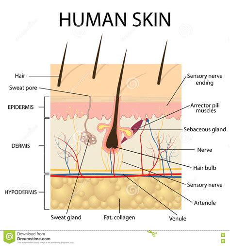 human skin anatomy stock vector more images of anatomy 645164882 istock illustration of human skin anatomy stock vector image 74343353