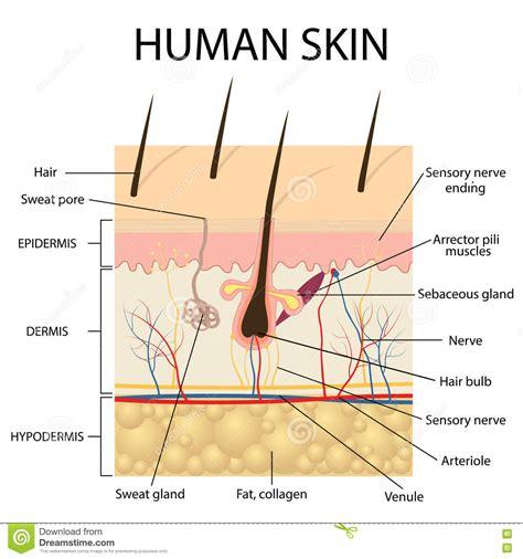 stock images similar to id 65616337 human skin macro texture illustration of human skin anatomy stock vector image 74343353