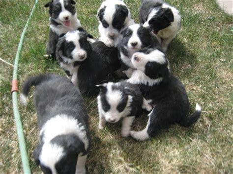 pitbull border collie mix puppy border collie pitbull mix puppies border collie lab mix dogs wallpaper borders