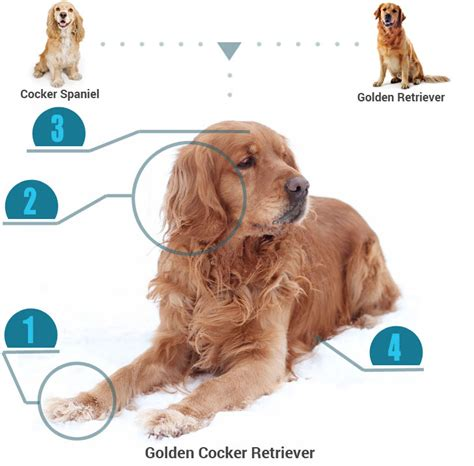 characteristics of golden retrievers golden cocker retriever breed 187 info pics more
