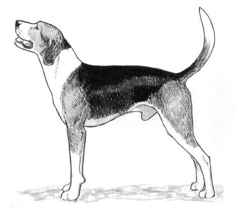 coloring pages of coon dogs rasstandard bluetick coonhound gummarps kennel