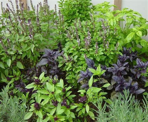 herb garden plants top 25 ideas about basil on pinterest gardens cooking