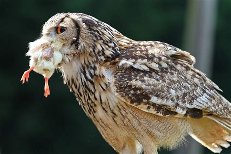 owl eating by john mcgibbon john mcgibbon gallery