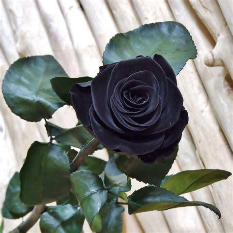 imágenes de rosas negras y azules fotos rosa negra imagens rosa negra clickgr 225 tis