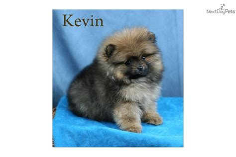akc pomeranian breeders akc chocolate merle pom pomeranian for sale in images frompo