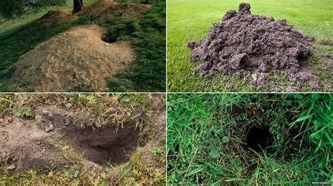 Common Backyard Rodents Bbc Nature Burrowing Mammals Who Lives In A Hole Like This