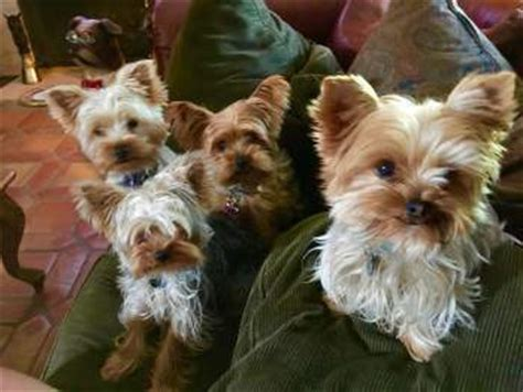 yorkie urinary tract infection terrier water issues puppy and