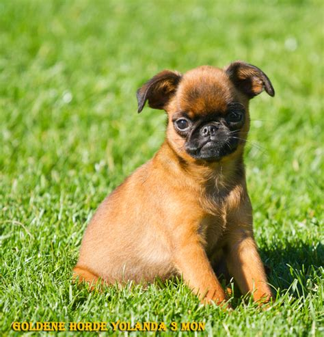 petit brabancon puppies for sale griffon bruxelles griffon belge petit brabancon kennel puppy welpen breeders