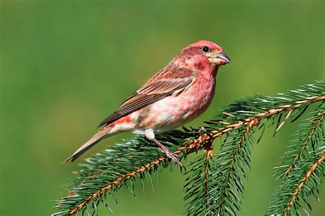 house finch song house finch song house plan 2017