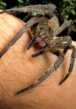 could spider venom be the next viagra daily mail online spider venom could be the new viagra