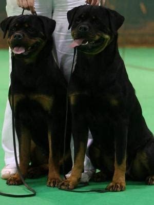 bevanray rottweilers ch bevanray lollypop jw