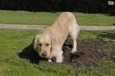 why do dogs dig holes in the backyard why does my dog insist on digging their way out of the