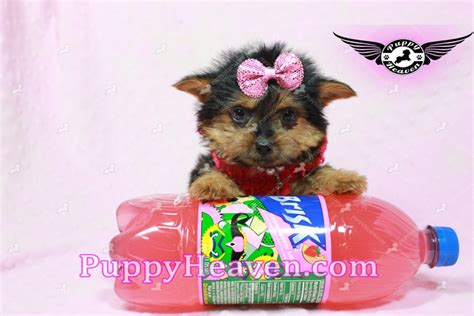 teacup yorkie los angeles selena gomez teacup yorkie puppy in los angeles found a new loving home