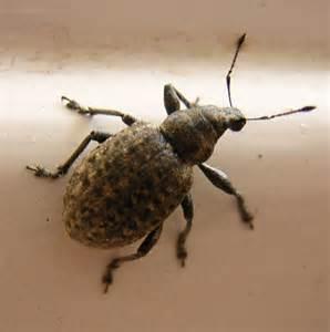 weevils 187 bugboy pest