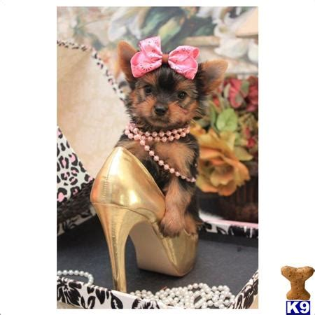 puppy for sale websites terrier puppy for sale visit my beautiful website florida cutest and smal 3