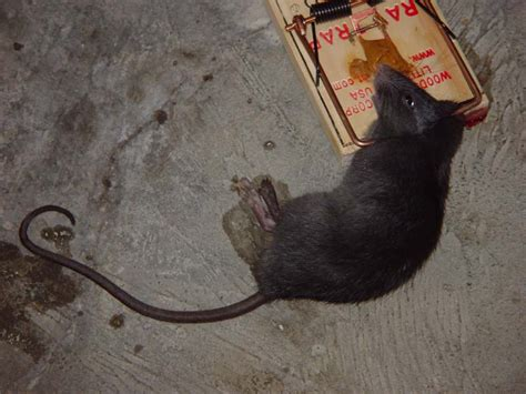 how to kill and get rid of rats and mice apps directories