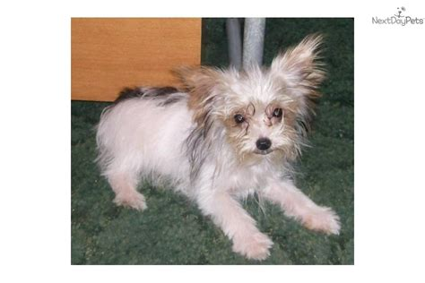 parti yorkies for sale near me terrier yorkie for sale for 3 600 near louisiana 3c0e197e 24d1