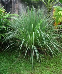 Best Backyard Mosquito Repellent Flavors Of Brazil Recipe Pineapple And Lemongrass Tea