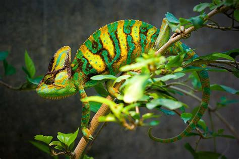 veiled chameleon changing colors how do animals camouflage pitara network