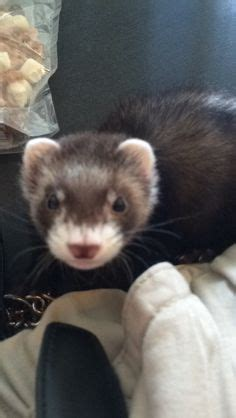 how to litter your 1000 images about ferrets with pester and freya on ferrets