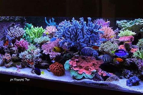 Hiasan Akuarium Coral Anemon S best reefs from europe 2 krzysztof tryc tank reefs